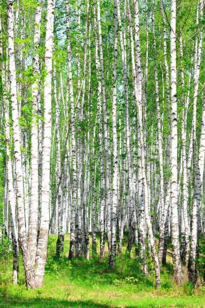 Mesteacănul- arborele terapeutic al primăverii