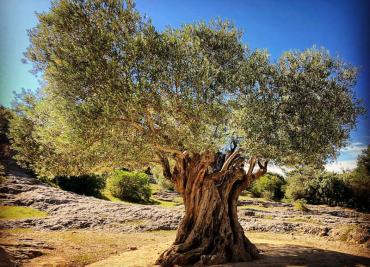 Măslinul- arborele tămăduitor din Biblie