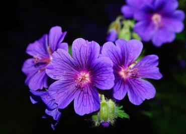 Mușcata - cea mai benefică floare