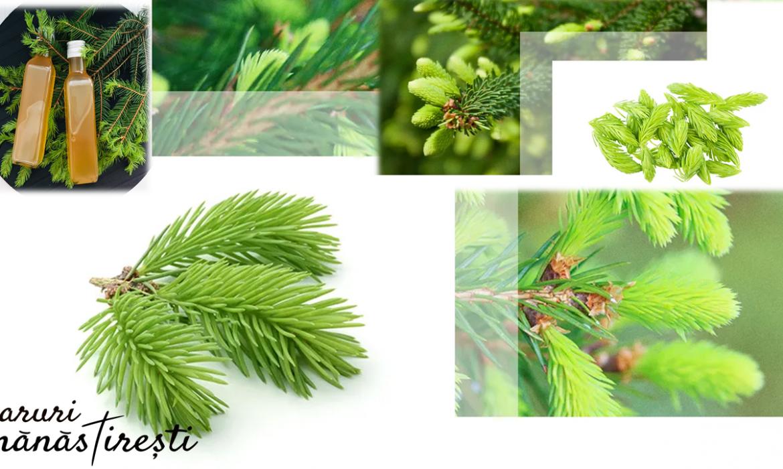 Mugurii de brad și pin-Remediu naturist