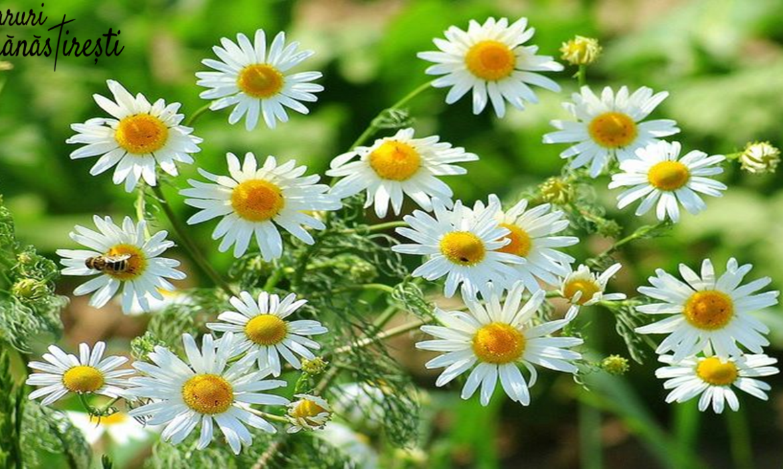 Mușețelul-Floare pură și tămăduitoare