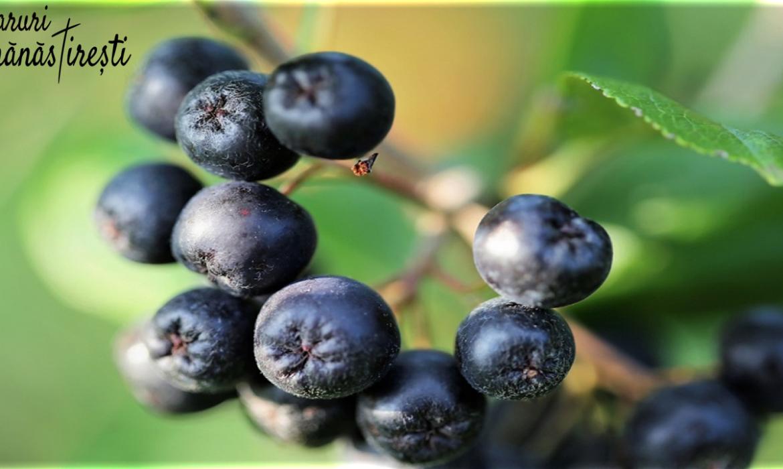 Aronia-Totul despre Fructul Pământului