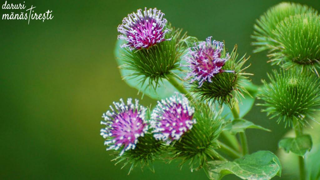 Brusturele-Planta minune pentru multe afecțiuni.